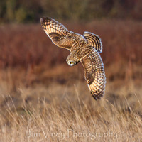 Clear Intention Short-eared Owl