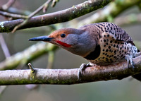 Focus on Your Good Northern Flicker