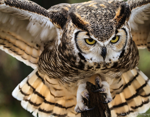 Focus, Great Horned Owl