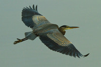 The Pharoah Great Blue Heron