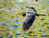 Grace and Ease, Great Blue Heron