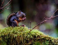 Douglas Squirrel, Hoh River, Olympic NP