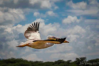 Great White Pelican Lake Naivasha