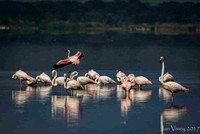 Greater Flamingo Lake Elementata