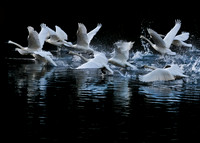 Dancing in the Light Trumpeter Swans Carnation WA