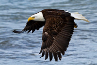 Power and Grace Bald Eagle