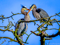 Love at the Top, Great Blue Heron