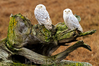 Compadres - Snowy Owls