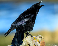 Speak Your Truth, American Crow