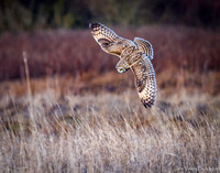 Intentions, Short-eared Owl