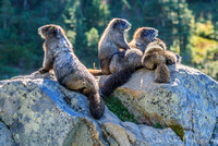 Marmot Family, Paradise Mt. Rainier