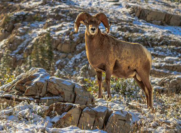 Great Horned Sheep, Montana