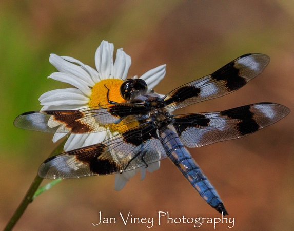 Spotted Dragon Fly