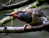 Focus on Your Good, Northern Flicker