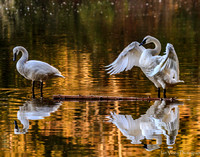 Bless the Day, Trumpeter Swans