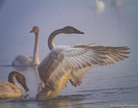 Seize the Day, Trumpeter Swan