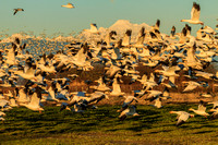 Evening Lift Off Snow Geese Skagit Valley