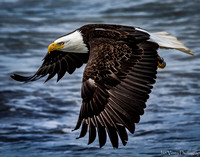 Power and Grace, Bald Eagle