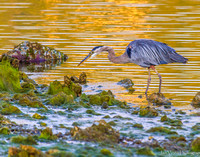 Golden Moments, Great Blue Heron